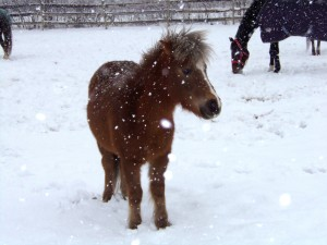 winter pony care